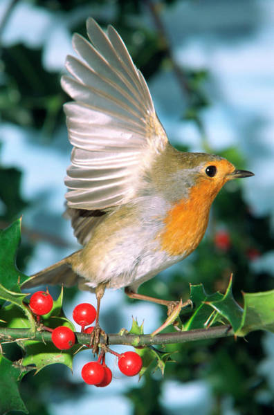 European Robin Photograph - European Robin Taking Off by Brian Gadsby/science Photo Library