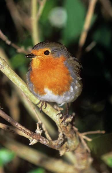 European Robin Photograph - European Robin by Tony Camacho/science Photo Library