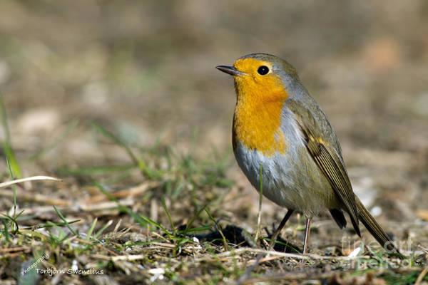 European Robin Photograph - European Robin by Torbjorn Swenelius