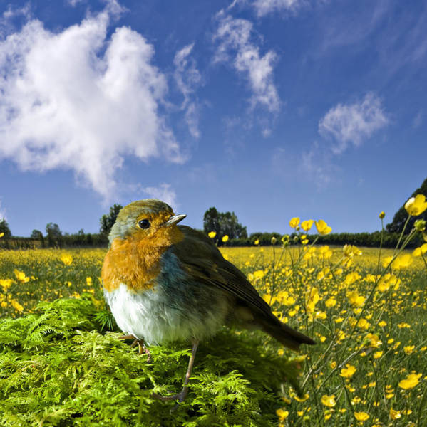 Photograph - European Robin With Buttercups by Meirion Matthias
