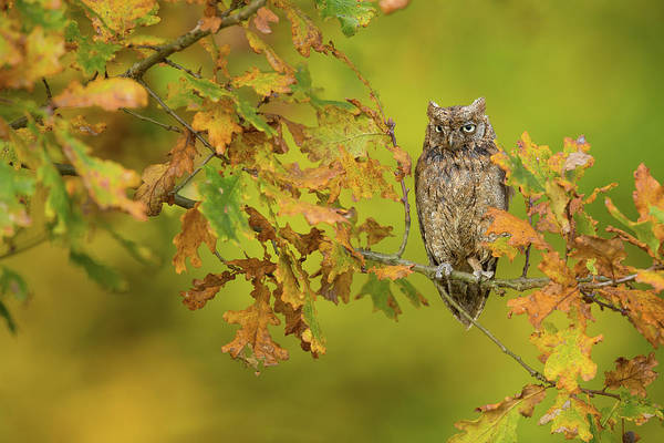 Oak Photograph - European Scops Owl by Milan Zygmunt