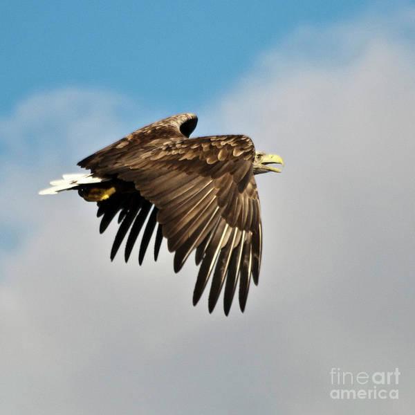 Faunal Photograph - European Sea Eagle by Heiko Koehrer-Wagner