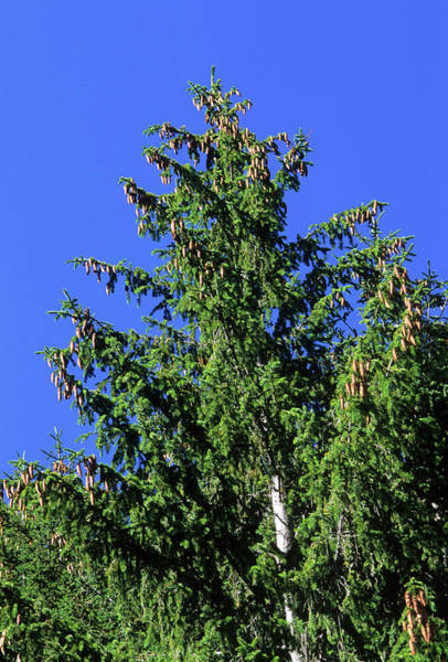 Spruce Photograph - European Spruce (picea Excelsa) by Bruno Petriglia/science Photo Library