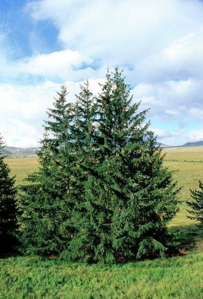 Spruce Photograph - European Spruce (picea Excelsa) Trees by Bruno Petriglia/science Photo Library