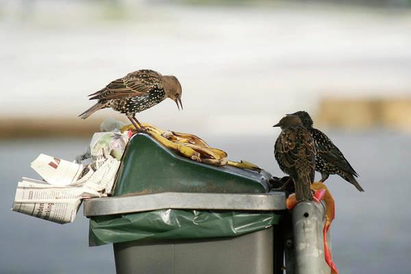 Wall Art - Photograph - European Starlings Feeding by Chris Martin-bahr/science Photo Library