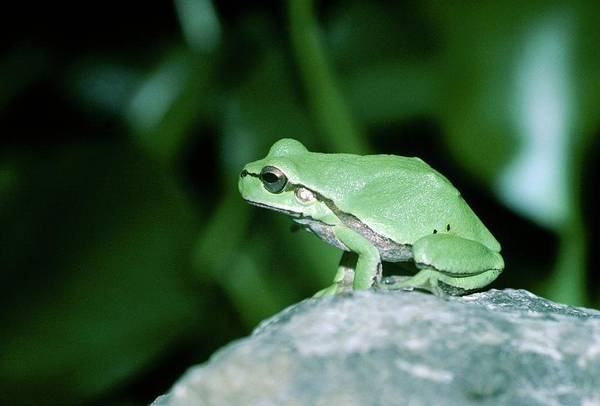 Hyla Wall Art - Photograph - European Tree Frog by Dr Morley Read/science Photo Library