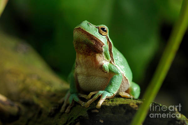 Reiner Photograph - European Treefrog by Reiner Bernhardt