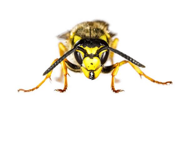 European Hornet Photograph - European Wasp Closeup On White Background by Francesco Rizzato