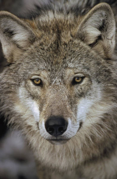 Wall Art - Photograph - European Wolf Portrait Sweden by Konrad Wothe