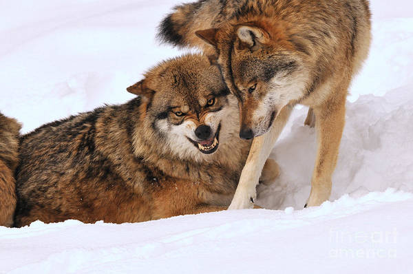 Reiner Photograph - European Wolves by Reiner Bernhardt