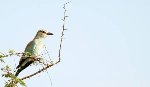 Urban Wildlife Photograph - Eurpean Roller Coracias Garrulus by Brogan Parsons