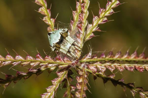Photograph - Eustala Anastera Spider by Steven Schwartzman