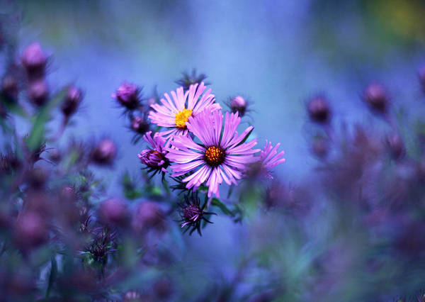 Aster Photograph - Evening Asters by Jessica Jenney