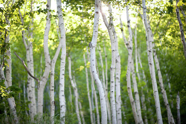 New Leaf Photograph - Evening Birch Trees by Photographer3431