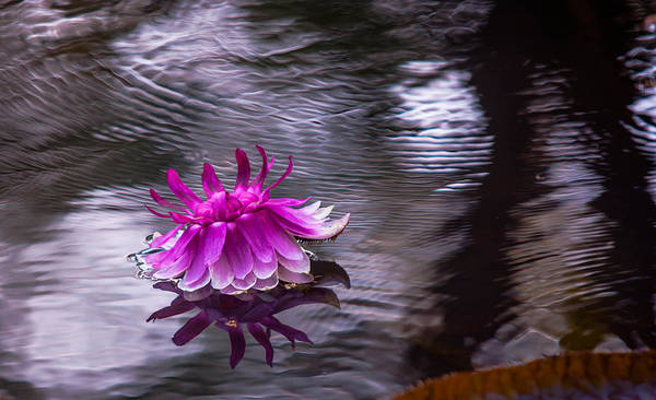 Victoria Amazonica Wall Art - Photograph - Evening Blossom Of Victoria Regia. Royal Botanical Garden In Mauritius by Jenny Rainbow