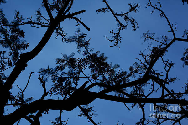 Photograph - Evening Branches by Charmian Vistaunet