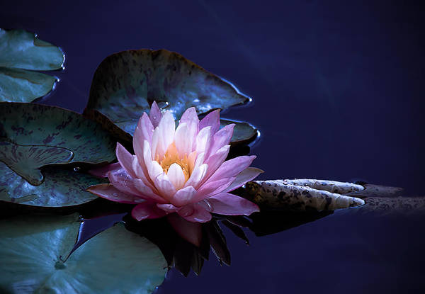 Photograph - Evening Exotic Bloom by Julie Palencia