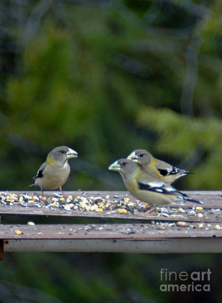 Photograph - 404p Evening Grosbeak Females by NightVisions