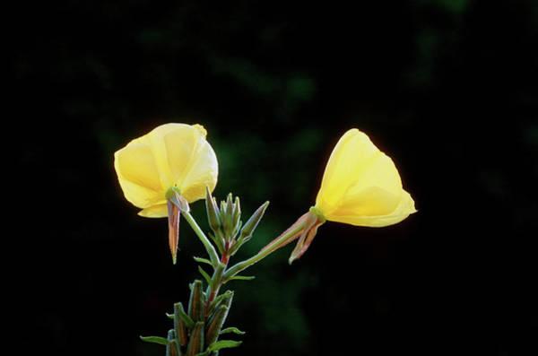 Biennial Photograph - Evening Primrose (oenothera Glazioviana) by Tony Wood/science Photo Library