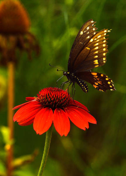 Photograph - Evening Swallowtail by William Jobes