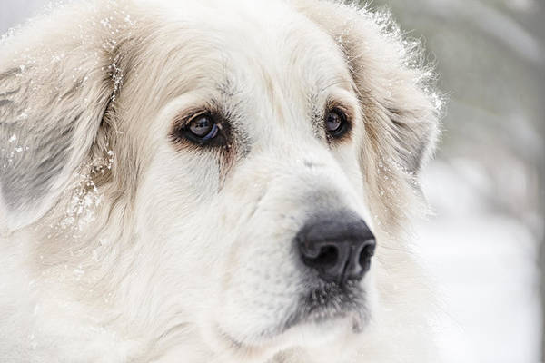 Great Pyrenees Photograph - Ever Watchful by Kate Houlne