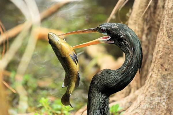 Photograph - Everglades Dinner by Adam Jewell