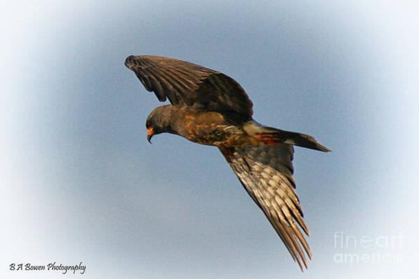 Photograph - Everglades Snail Kite by Barbara Bowen