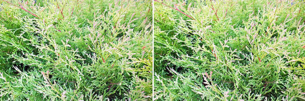 Photograph - Evergreen Shrub In Stereo by Duane McCullough