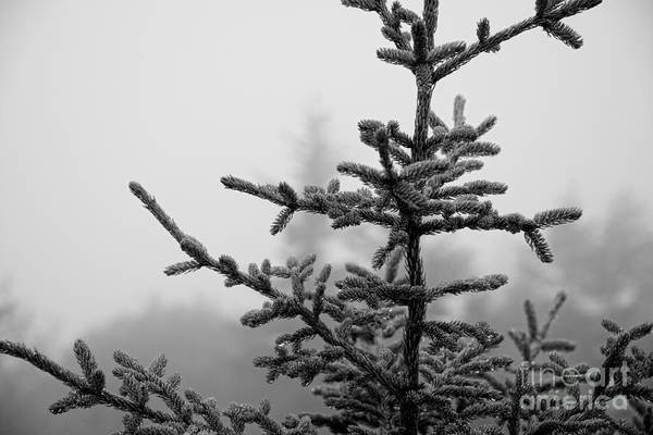 Michael Photograph - Evergreen Spruce Sapling Bw by Michael Ver Sprill