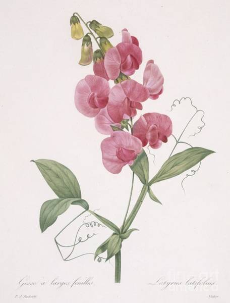 Plant Reproduction Painting - Everlasting Pea by Pierre Joseph Redoute
