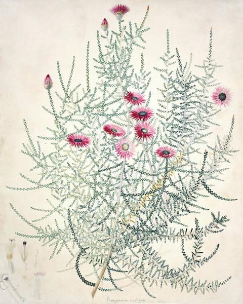Asteraceae Photograph - Everlasting (phaenocoma Prolifera) by Natural History Museum, London/science Photo Library