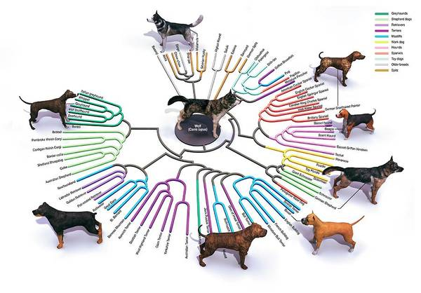 Wall Art - Photograph - Evolution Of Dog Breeds by Jose Antonio Penas/science Photo Library
