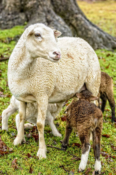 Photograph - Ewe And Winter Lambs by Thomas R Fletcher