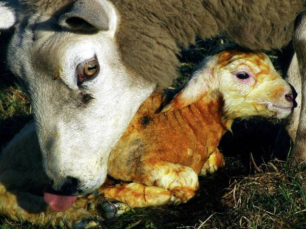Wall Art - Photograph - Ewe Cleaning A Newborn Lamb by Ian Gowland/science Photo Library