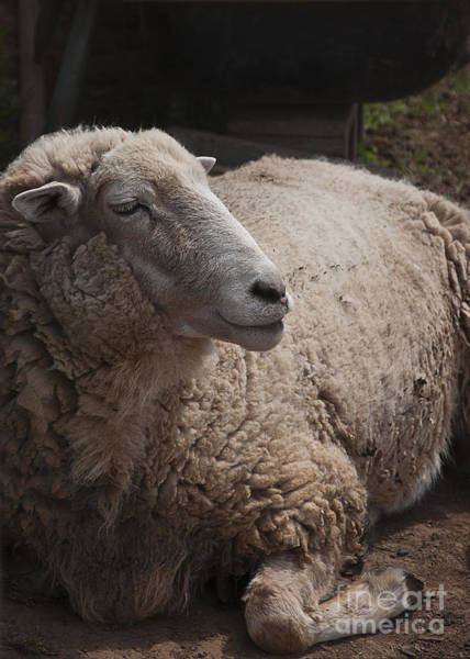 Photograph - Ewe by Terry Rowe