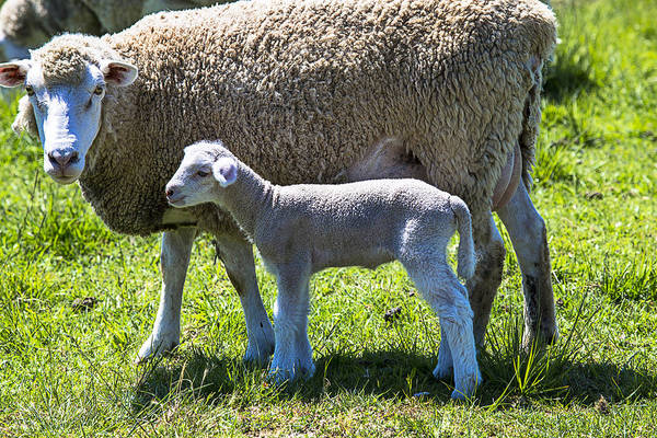 Ewe Photograph - Ewe With Her Lamb by Garry Gay