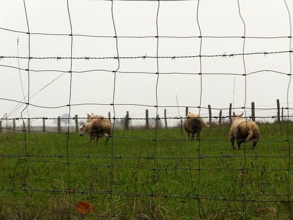 Photograph - Ewes Run by Marc Philippe Joly