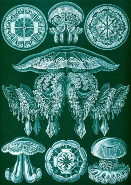 Zoological Wall Art - Drawing - Examples Of Discomedusae by Ernst Haeckel