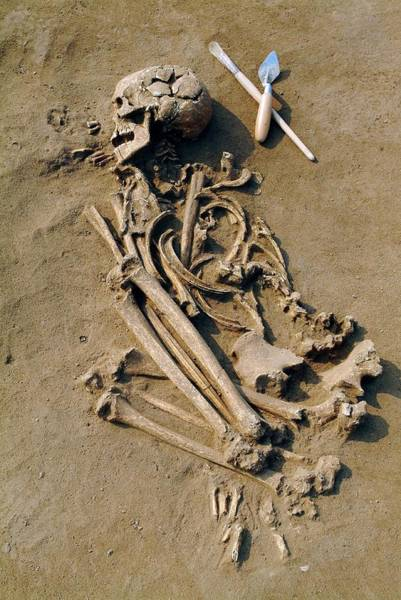 Trowel Photograph - Excavating A Prehistoric Skeleton by Pasquale Sorrentino/science Photo Library