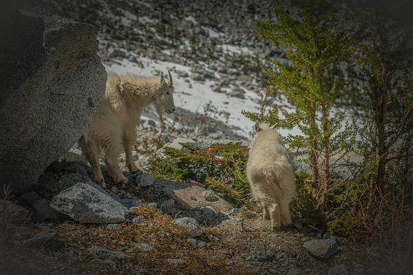 Mountain Goat Wall Art - Photograph - Exhibit by Ryan McGinnis