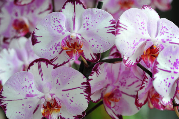 Photograph - Exotic Dreams. Orchids From Keukenhof. Netherlands by Jenny Rainbow