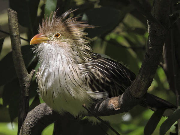 Photograph - Exotic Guira Cuckoo by Penny Lisowski