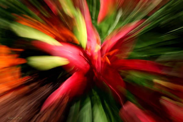 Photograph - Exploding Lily by Andrea Platt
