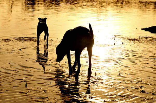 Dog Lover Photograph - Exploring At Sunset by Laura Fasulo