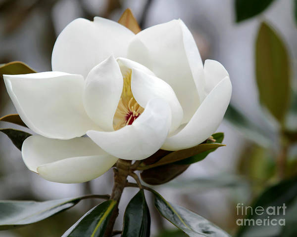 Photograph - Exquisite Magnolia by Sabrina L Ryan