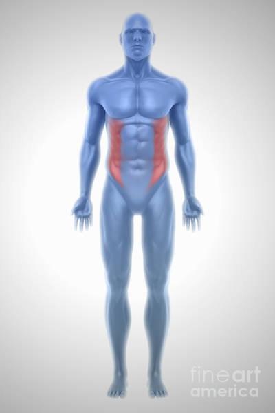 External Abdominal Oblique Photograph - External Oblique Muscles by Science Picture Co