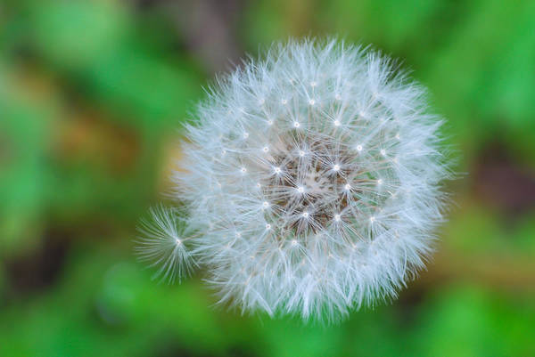 Photograph - Extra Little Dandelion Wish by Terry DeLuco