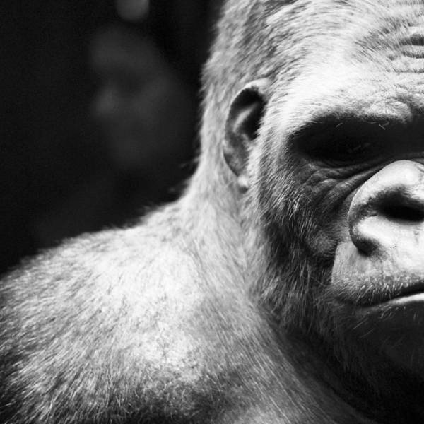 Vertebrate Photograph - Extreme Close-up Of Gorilla by Ali Roshanzamir / Eyeem