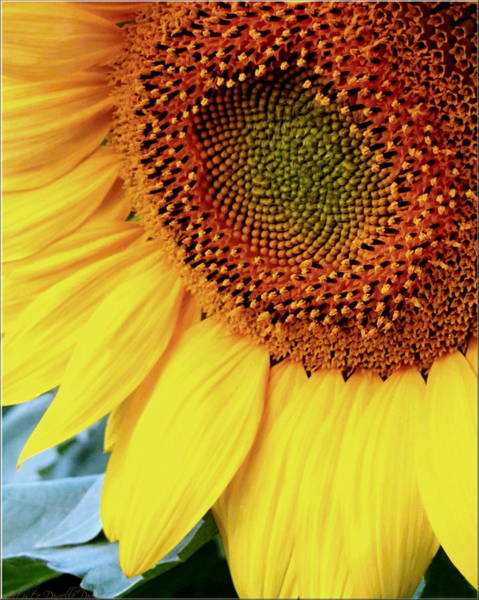 Photograph - Extreme Macro Sunflower by Danielle  Parent