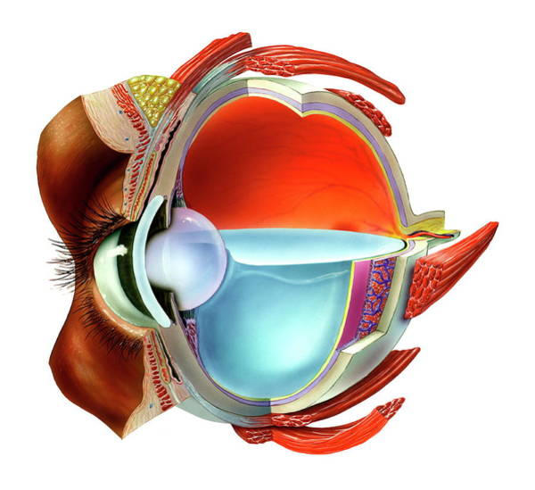 Wall Art - Photograph - Eye Anatomy by Bo Veisland/science Photo Library